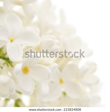 Detail of blooming white lilac flower. Great for use as a background. - stock photo