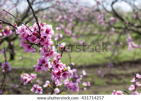 detail of blossom peach tree