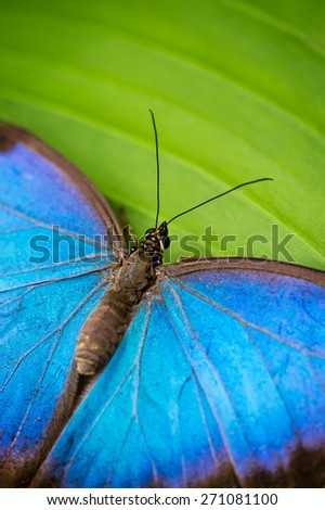 Detail of blue tropical butterfly - stock photo