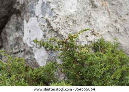 Detail of branches and leaves of Common Juniper, Juniperus communis subsp. alpina. Photo taken in Somiedo Nature Reserve. It is located in the central area of the Cantabrian Mountains, Asturias, Spain - stock photo