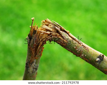 Detail of broken branch for storm destruction - stock photo