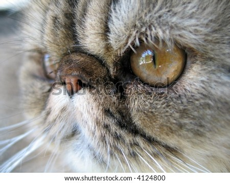 Detail of brown tabby persian cat