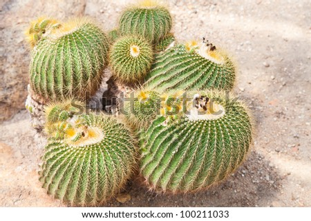 Detail of cactus growing thailand.