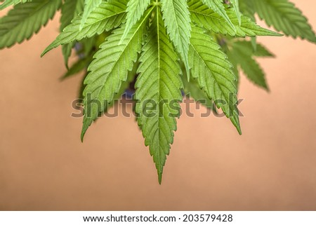Detail of Cannabis female plant, Indica dominant hybrid. - stock photo