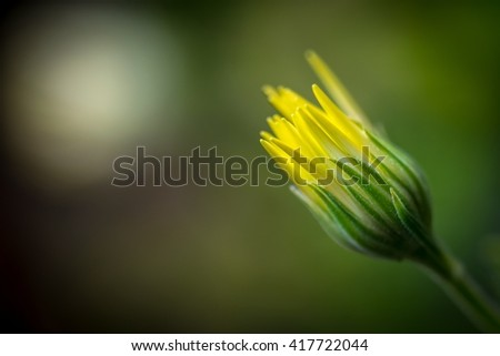Detail of closed bud of a yellow wildflower with space for text - stock photo