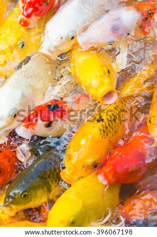 Detail of colorful koi fish in the pond. selective focus.