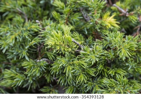 Detail of Common Juniper, Juniperus communis subsp. alpina. Photo taken in Somiedo Nature Reserve, in Cantabrian Mountains, Principality of Asturias, in northern Spain - stock photo