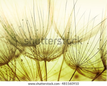 Detail of dandelion against white background