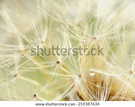 detail of dandelion for adv or others purpose use - stock photo