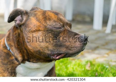 Detail of dogs head ( Staffordshire bull terrier) with closed eyes. Staffordshire bull terrier enjoying sun shine.  - stock photo