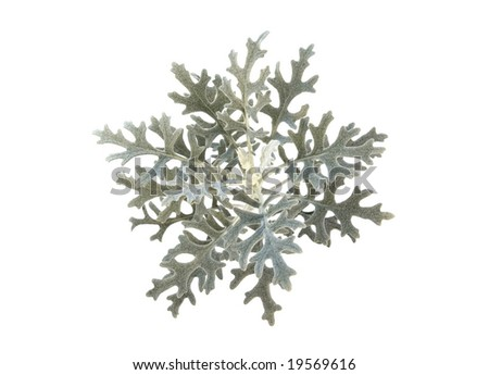 Detail of Dusty miller (Jacobaea maritime). Isolated on pure white background. - stock photo