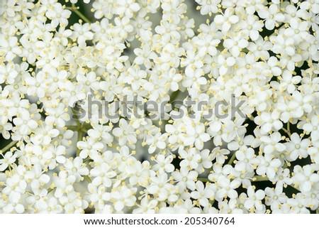 Detail of Elder flower (Sambucus nigra) with short depth of field - stock photo