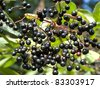 Detail of elderberry - stock photo