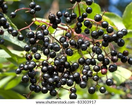 Detail of elderberry - stock photo