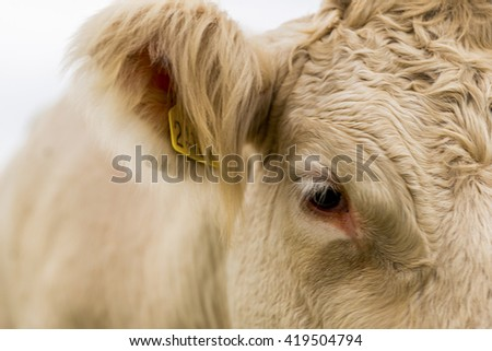 Detail of eye and ear of white cow