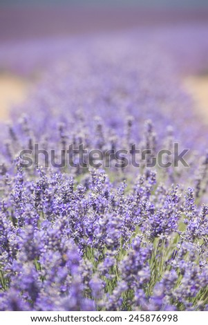 Detail of Field of purple herbal lavender plant flowers in long rows on agriculture farm in countryside Tasmania, Australia, with mountain landscape on horizon, blue sky, copy space.