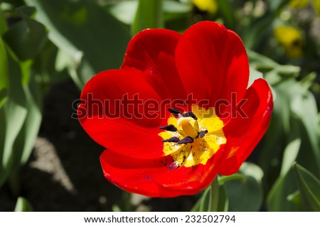 Detail of flowering red tulips - stock photo