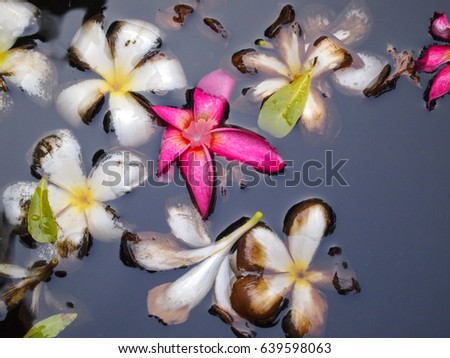 Detail of frangipani petals of many colours floating in a pond in Bangkok, Thailand