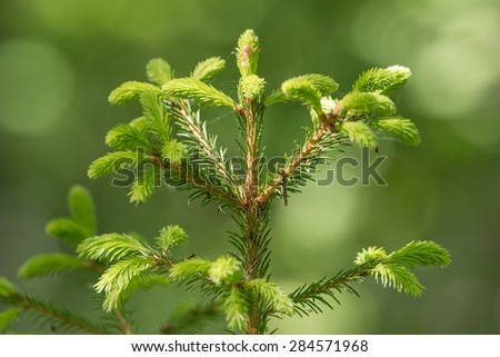 Detail of fresh green fragile spruce buds in forest, Sweden - stock photo