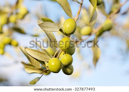 detail of fresh olive branch in autumn
