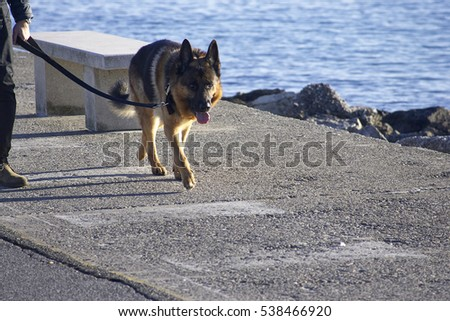 detail of German Shepherd in italy