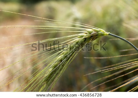 Detail of  green Barley Spikes - stock photo