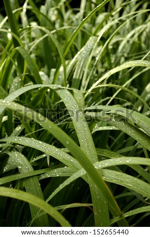 Detail of green leaves in morning dew with shallow depth-of-field
