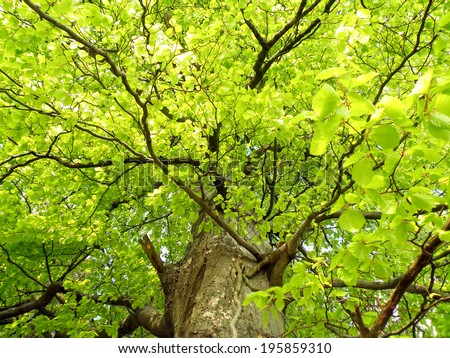 Detail of green oak tree in summer time. - stock photo