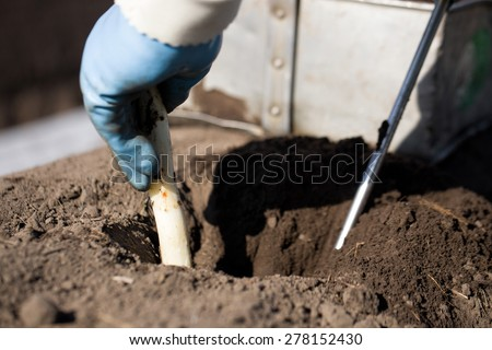 Detail of hand of a person harvesting asparagus in spring, outdoors digging in the sand bed in which this white summer vegetable is growing in Breda, Netherlands - stock photo