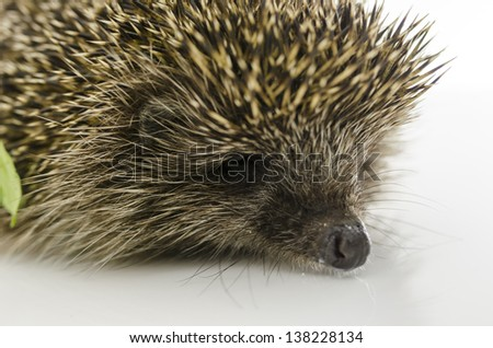 Detail of hedgehogs head. Isolated on white.
