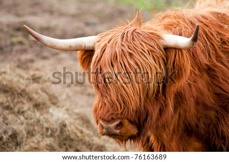 Detail of Highland cattle during the daytime. - stock photo