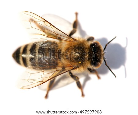 detail of honeybee (Apis mellifera) european or western honey bee isolated on the white background