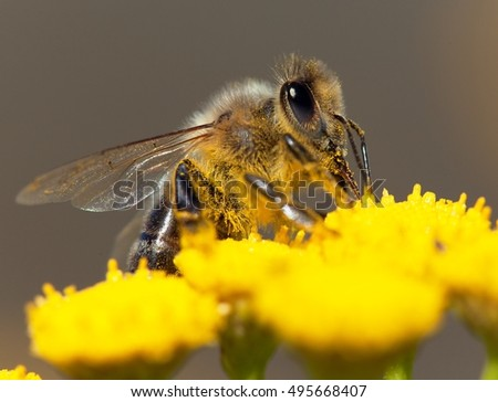 detail of honeybee (Apis mellifera) european or western honey bee  sitting on the yellow flower