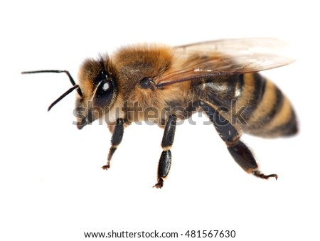detail of honeybee (Apis mellifera) isolated on the white background