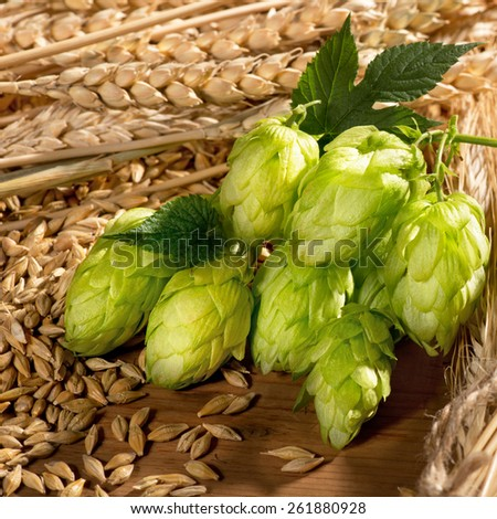 detail of hop cones  wheat and barley - stock photo