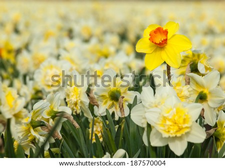 detail of individual long stemmed yellow trumpet daffodil in a fields of white double cup daffodils. Selective focus. - stock photo