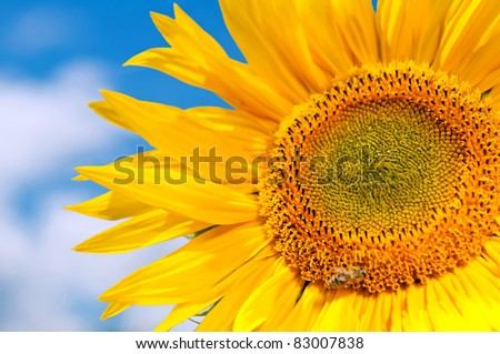 Detail of isolated sunflower against a blue sky. - stock photo