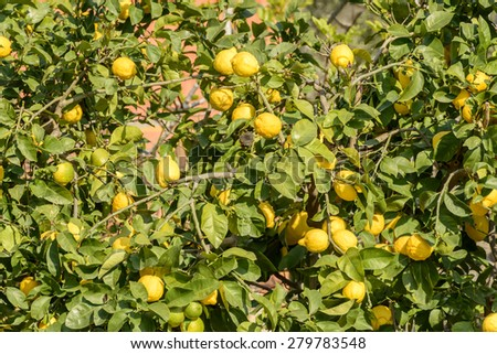 detail of lemons on plant in orchard of ancient sea village, Portovenere, Italy