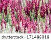 Detail of lush pink and white blooming heather plants mixed together in a decorative arrangement. - stock photo