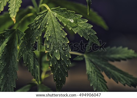Detail of Marijuana (cannabis sativa) plant leaves with water drops