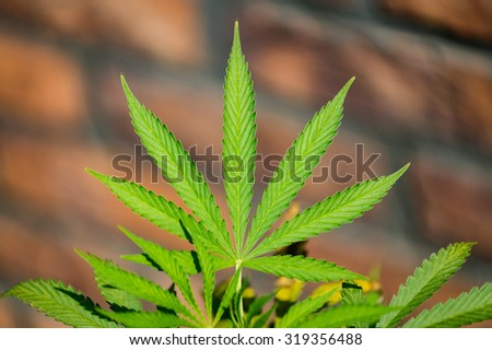 Detail of marijuana leaf with the brick background