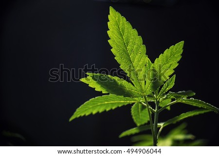 Detail of Marijuana plant leaves with water drops isolated on black background