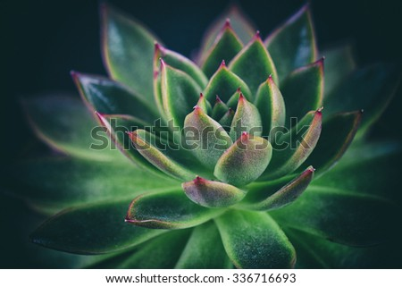 Detail of miniature succulent plant on a dark background
