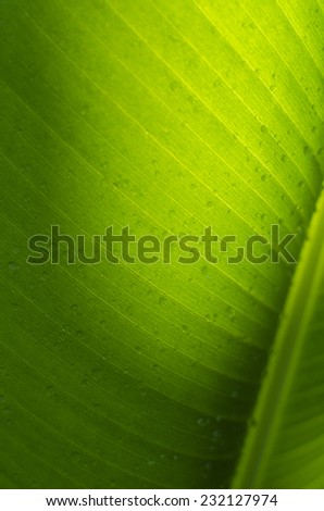 Detail of new green banana palm leaf - stock photo