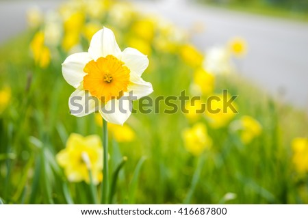 Detail Of One Blooming Narcissus In Foreground And Many Narcissus In Background.  - stock photo
