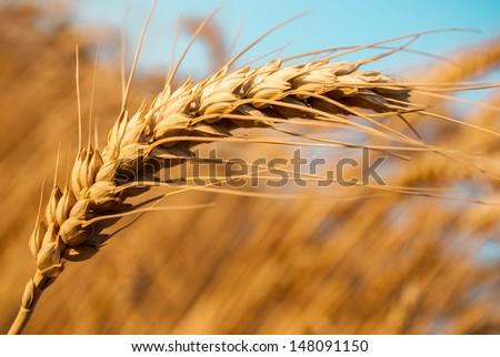detail of one grain ear in wheat grain field - stock photo