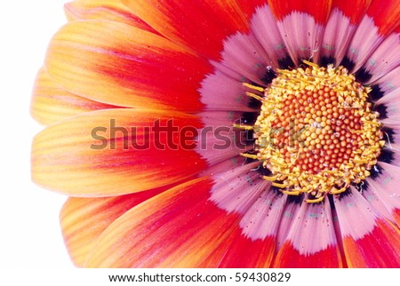 Detail of orange and red flower photographed on white background (no post work isolation)
