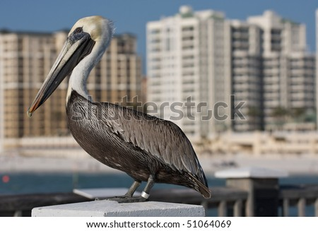 Detail of Pelican in Florida. - stock photo