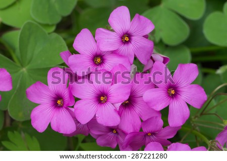 detail of purple pink spring flowers of red wood sorrel oxalis rubra - stock photo