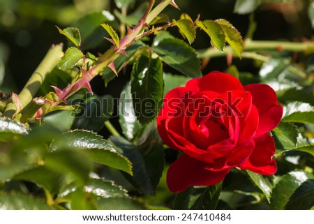 detail of red rose in bloom - stock photo